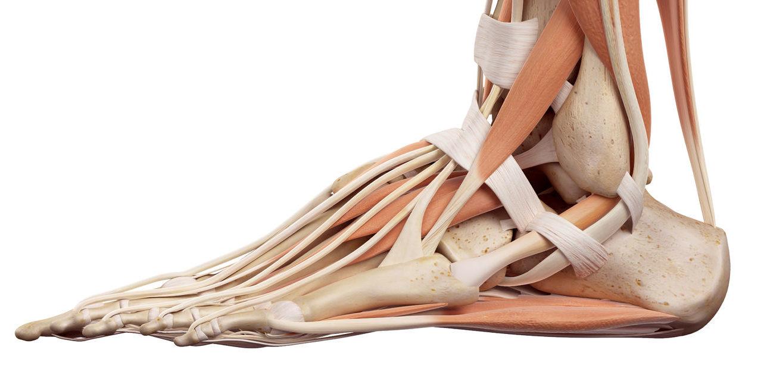 Anatomie voet en onderbeen